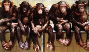 [chimpanzes.jpg]